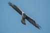 Bonelli's Eagle by Nagesh Kamath