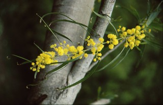 Mimosa - Malta {1998}