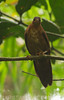 Brown Mesite (Mesitornis unicolor) by macronyx