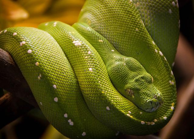 Riverbanks - Green Tree Python