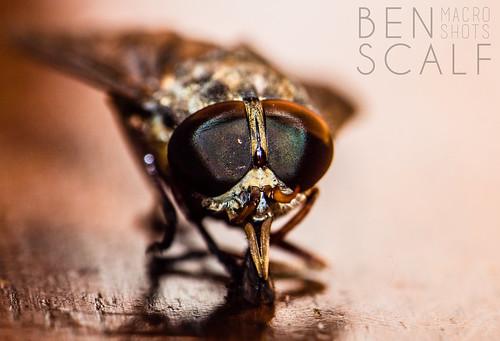 Tabanus horsefly - 105mm macro