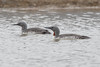 Red-throated Diver at Adventdelta S24A0919 by grebberg