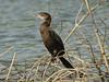 Little Cormorant (Phalacrocorax niger) Mohrenscharbe by Werner Witte