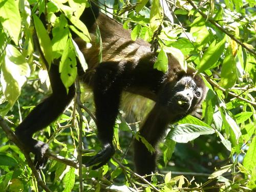 Refugio Biologica de Vida Silvestre Curu - brulaap