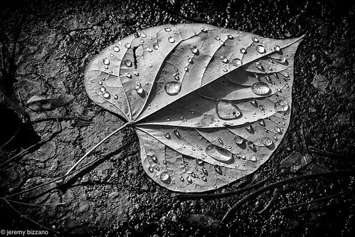 BnW redbud leaf | by bizzano