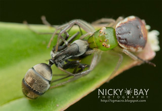 Crab Spider (Alcimochthes sp.) - DSC_3740
