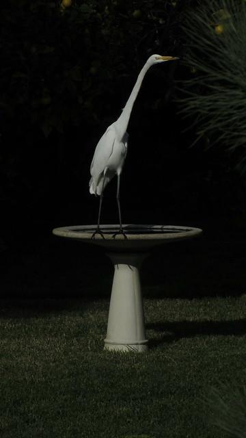 IMG_4988 great egret birdbath