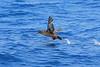 Sooty Shearwater, San Diego pelagic, California by Terathopius