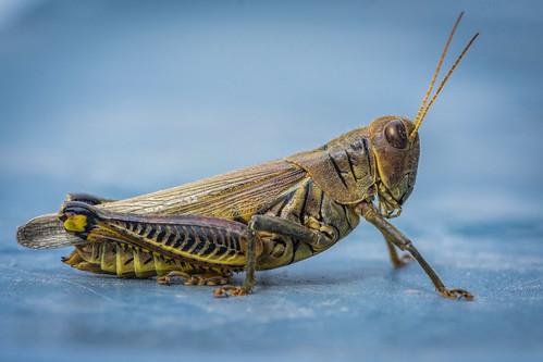 bug summer insect grasshopper macro philadelphia pennsylvania unitedstates us nikon d7200