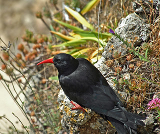 Alpekrager (Pyrrhocorax pyrrhocorax) - Red-billed Chough - Alpenkrähe - Chova Piquirroja | by Søren Vinding