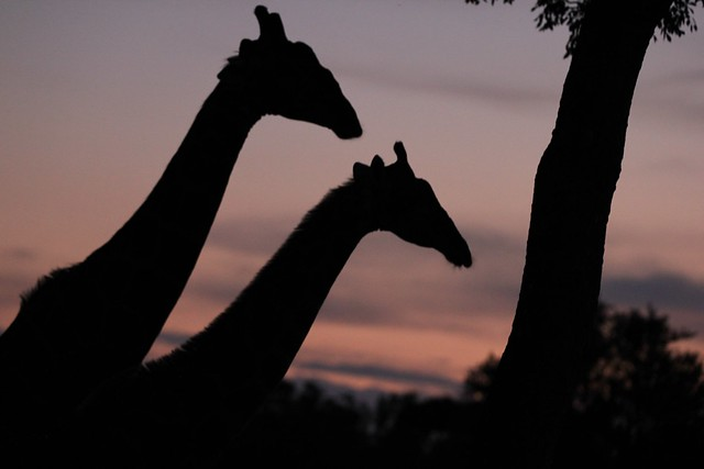 A pair of giraffes silhouetted against a sunset - Sabi Sands, South Africa, 2012