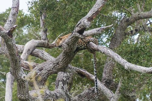 Un des 25 léopard de Ceylan du parc nationnal de Yala | by IBI Productions