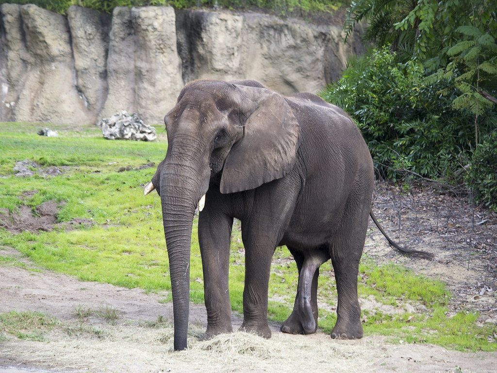 Disney World - Elephant  Pictures From My Improptu 2013 -6348