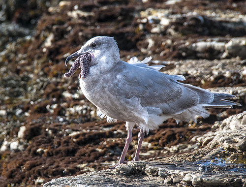 This is a mouthful!   (Immature Glaucous-winged Gull - Larus glaucescens) | by jkirkhart35