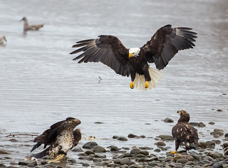 Bald Eagles | by Mick Thompson1
