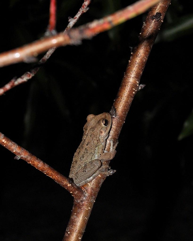 DSC_1117 | Found, In My Back Yard. Tree Frog in My Peach ...