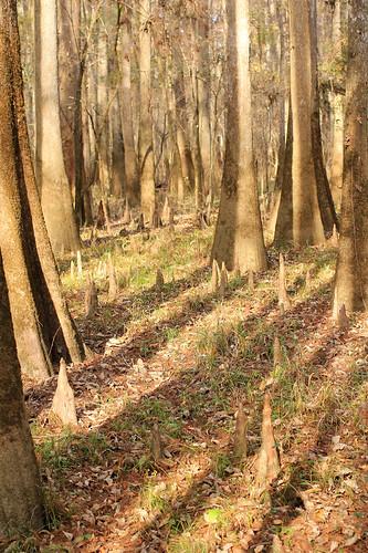 shadow southcarolina swamp cypress congaree congareenationalpark t2i boardwalktrail canonef40mmf28stm