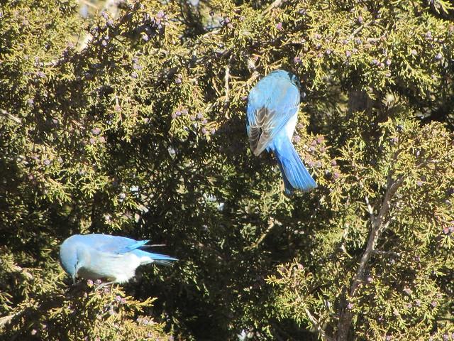 In the Bluebird Bush