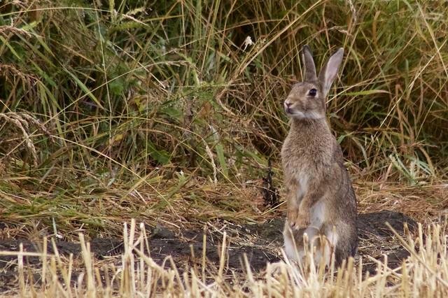 Rabbit near where a stoat hunts.