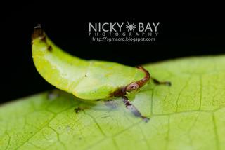 Leafhopper nymph (cf. Krisnini) - DSC_1553