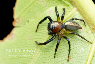 Jumping Spider (Colyttus bilineatus) - DSC_4832