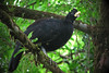 Great Curassow (Crax rubra) by sparverius81