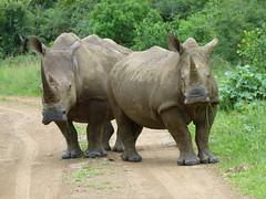 zo, 02/12/2012 - 16:14 - 23. Neushoorns in Hluhluwe Game Reserve