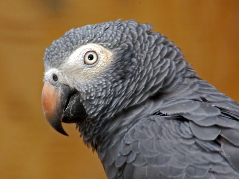 Psitaccidae - Psittacus erithacus (African Grey Parrot)