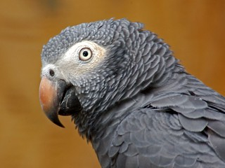 Psitaccidae - Psittacus erithacus (African Grey Parrot) | by Ettore Balocchi