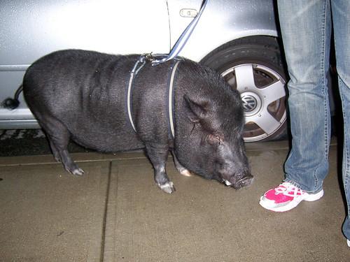 emmett, the neighborhood pig   by lesterhead