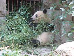 之前從室內看到另外一隻的熊貓,就是這隻