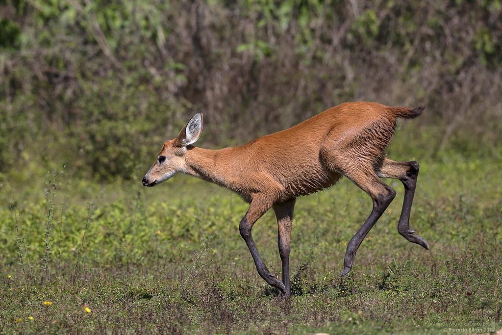 Marsh Deer (Blastocerus dichotomus) Pantanal, Mato Grosso, Brazil 2017-02