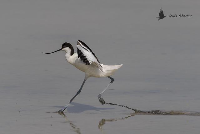Avoceta común (Recurvirostra avosetta)