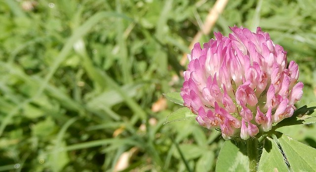 Red clover, Great Smoky Mountains National Park, Tennessee, USA