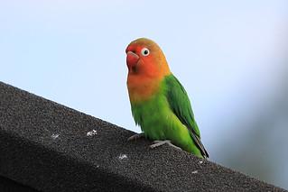 Fischer's lovebird | by dmmaus