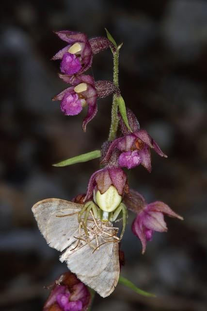 Une araignée crabe, Misumena vatia, à l'affût sur le labelle d'une orchidée Epipactis vient de capturer un papillon.