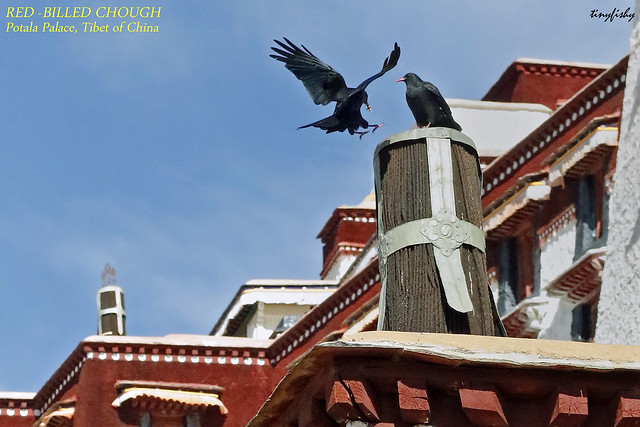 (Species #1271a) Red-billed Chough - [ Potala Palace, Lhasa, Tibet of China  ]