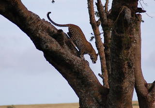 leopard-serengeti | by quirkytravelguy