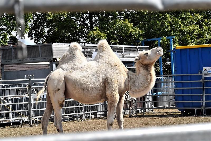 Camel Dromedary 07.08 (3)