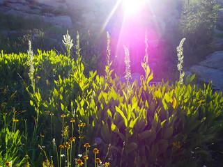 Corn lily   by snackronym