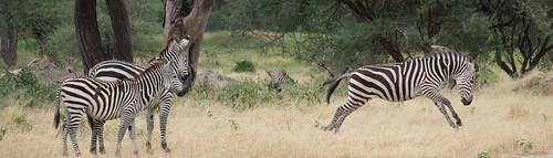 Energetic zebra | by Laura Jacobsen