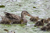 Northern Shoveler and babies 2 by lamoustique