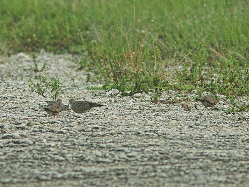 Common Ground-Doves 20160819