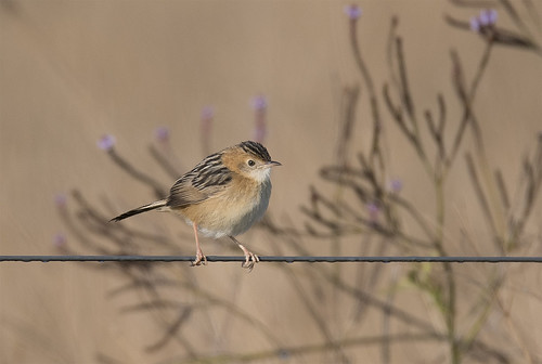 goldenheadedcisticola cisticolaexilis bird australianbird fauna australianfauna smallbird oxleycreekcommon outdoors nikond750 sigma15006000mmf5063sports