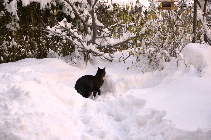 Tabby in snow
