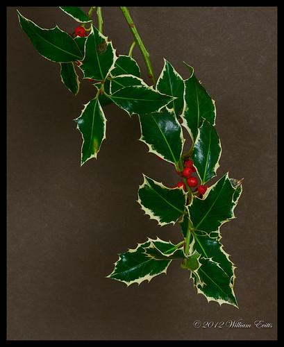 christmas tree nature canon european holly ilexaquifolium