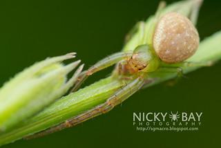 Crab Spider (Spilosynema sp.) - DSC_3651