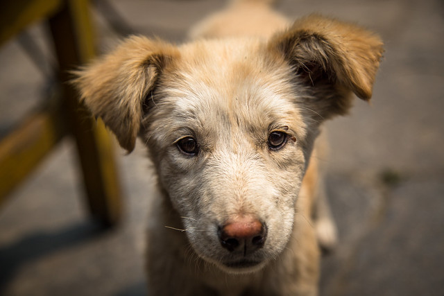 Stray Puppy in Nepal