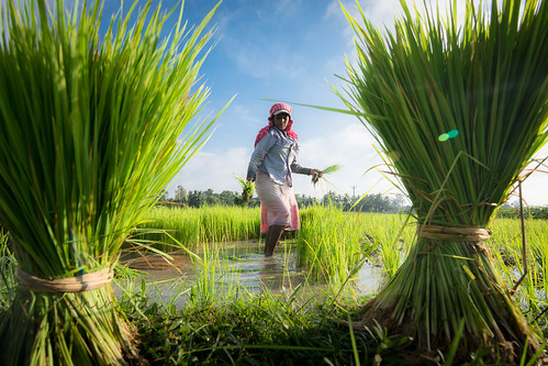 paddy bengal worker green daily