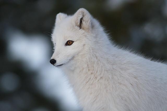 Arctic Fox_IMG_2282